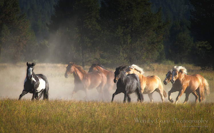 Herd of mustangs, amidst the morning dust, galloping toward the stables, Sunriver, Oregon