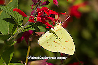 03091-00506 Cloudless Sulphur butterfly (Phoebis sennae) on Red Faye Chappell Salvia (Salvia splendens 'Faye Chappell') Marion Co., IL