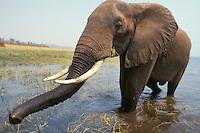 African elephant bull (Loxodonta africana), Africa.