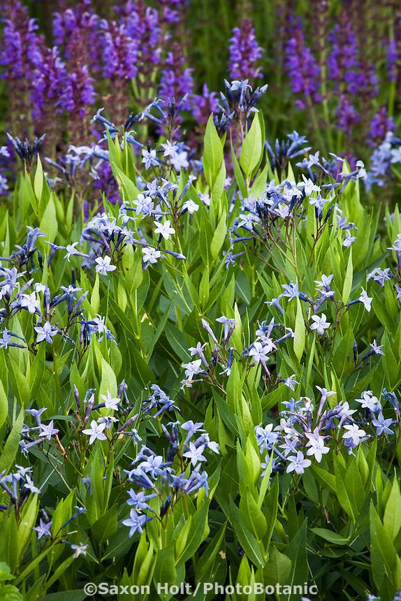 Blue Star - Amsonia 'Blue Ice' flowering perennial in Lurie Garden Millenium Park, Chicago