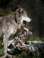 Gray Wolf in profile with mouth open, yawning