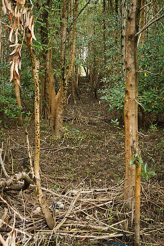 Golden Grove mangrove swamp -Black mangrove