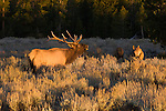 A bull elk bugles near a group of cows in Grand Teton National Park, Wyoming.