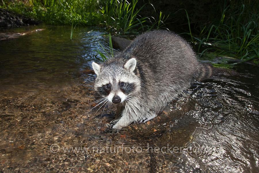 """Waschbär, etwa 6 Monate altes Jungtierim und am Wasser, Männchen, Rüde, Waschbaer, Wasch-Bär, Procyon lotor, Raccoon, Raton laveur, """"Frodo"""""""