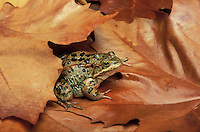 COLUMBIA SPOTTED FROG in big-leafed maples..Southwestern British Columbia. Canada..Rana luteiventris.