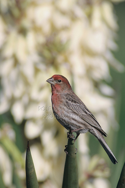 House Finch, Carpodacus mexicanus,male on blooming Trecul Yucca (Yucca treculeana), Lake Corpus Christi, Texas, USA, March 2003