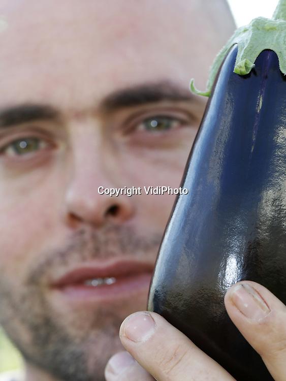 """Foto: VidiPhoto<br /> <br /> 's GRAVENZANDE – Het gaat goed met de aubergine. De glasgroente boordevol vitamines -en caloriearm- geldt als een populaire vleesvervanger, die overigens in de keuken wel op smaak gebracht moet worden. De optisch mooie, paarse vrucht is echter lastig te telen, vertelt Arjan van Onselen uit 's Gravenzande. Samen met zijn broer Martijn runt hij het 14 ha. grote bedrijf, waar er jaarlijks zo'n 25 miljoen stuks over de band rollen. Daarmee is Van Onselen Aubergines BV een van de grootste auberginetelers van ons land, met inmiddels zo'n 25 jaar ervaring. Niet alleen moeten rijpe exemplaren met de hand geoogst en ingepakt worden, maar dat dient ook nog eens uiterst voorzichtig te gebeuren. """"Het is een veelzijdige groente, maar wel erg kwetsbaar."""" Aubergines zijn jaarrond verkrijgbaar, zij het dat ze van november tot en met januari uit Spanje komen als in Nederland de teeltwisseling plaats vindt. De gladde groente profiteert op dit van de toenemende belangstelling voor vegetarische producten."""