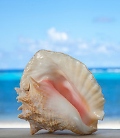 Queen Conch shell<br />