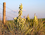 A prairie yucca cactus blooms in the Pawnee National Grasslands in northeastern Colorado.