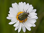 Rose Chafer Beetle, Cetonia aurata, on daisy flower, near Hiidenportti National Park, Finland, in Sotkamo in the Kainuu region, green rose chafer or goldsmith beetle, iridescent colour, metallic