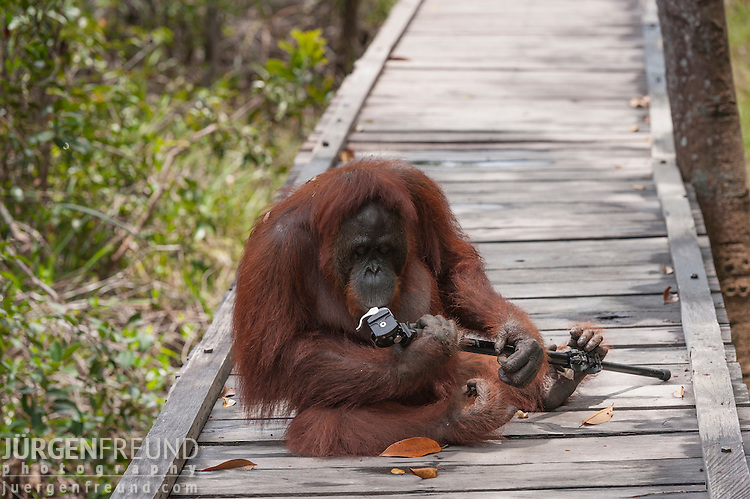 Bornean Orangutan (Pongo pygmaeus wurmbii) - Siswi the Queen of the jungle of Camp Leakey grabbed photographer's monopod, played with it and refused to give it up until a banana was thrown to her.