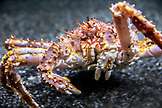 USA, Alaska, Seward, a king crab inside of the Alaska SeaLife Center