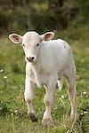 Brazoria County, Damon, Texas; a white newborn calf walking through the pasture