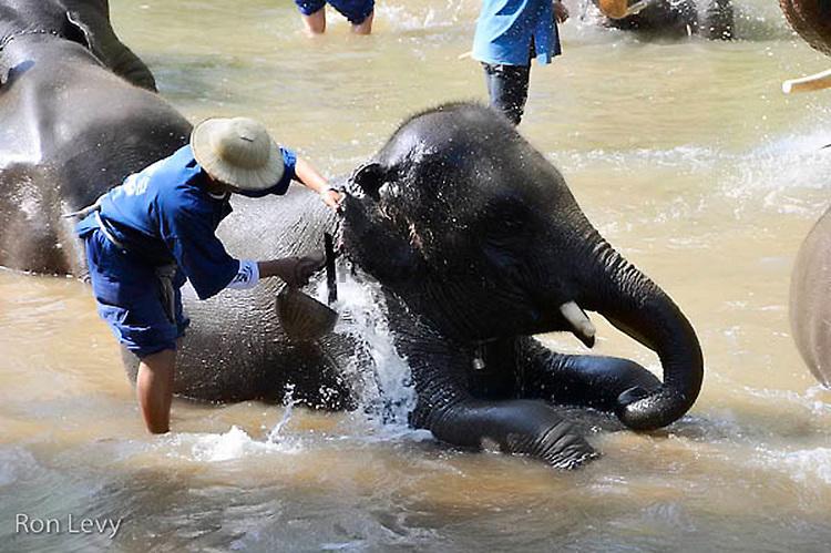 Bathing elephants at Elephant Nature Rehabilitation Center, Thailand