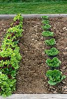 Lettuce rows in community Garden, Missouri USA
