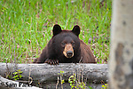 Cinnamon black bear resting. Yellowstone National Park, Wyoming.