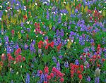 Mount Rainier Natl Park,  WA  © Terry Donnelly  /<br /> Meadow of alpine wildflowers with lupine, magenta paintbrush, lousewort and bistort on Mazama Ridge