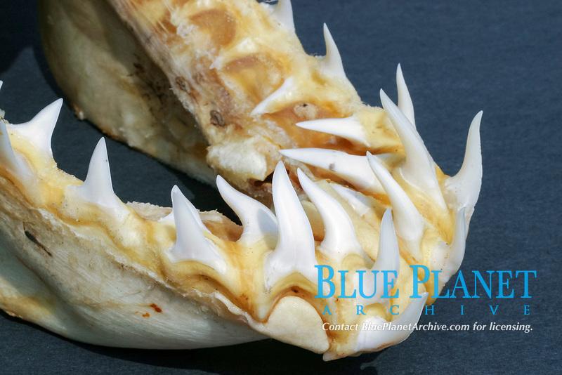 Mako Shark (Isurus oxyrinchus) Showing close up image of teeth.