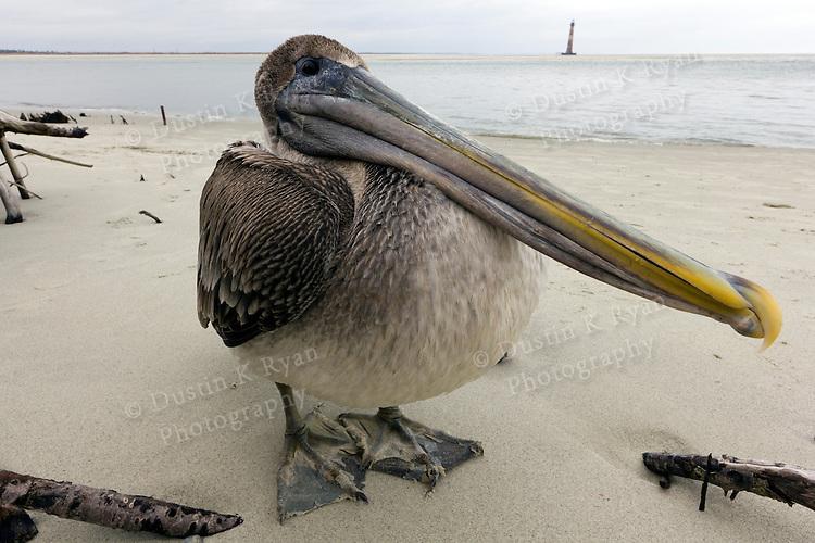 Brown Pelican Bird Folly Beach South Carolina Morris Island Lighthouse
