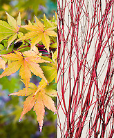 Acer palmatum 'Sango-kaku' in two stages, fall autumn foliage leaves and winter red stems twigs, composite picture