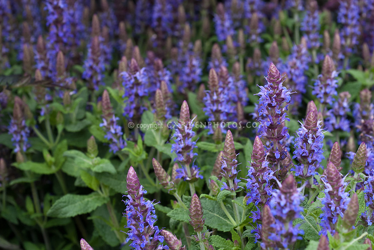Salvia nemerosa 'Sensation Blue' in flower