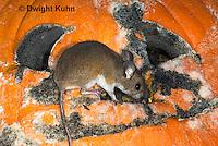 MU59-524z  Deer Mouse on Pumpkin, Pumpkin decomposing from molds, Peromyscus maniculatus