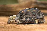 481150041 a wild texas tortoise gopherus berlandieri in the rio grande valley texas united states