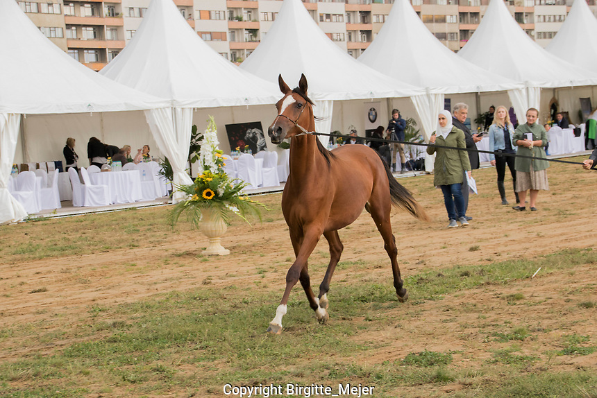 Arabian horse in the show ring at Prague Intercup- International Arabian Horse Show. Judges and owners also in the ring.