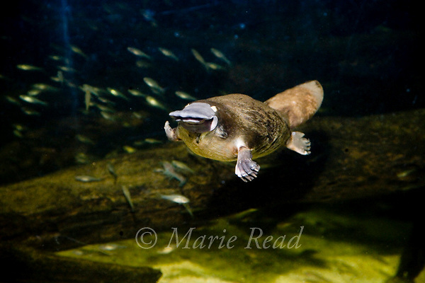 Platypus (Ornithorhynchus anatinus) swimming underwater, captive, Sydney Aquarium, Sydney, New South Wales, Australia