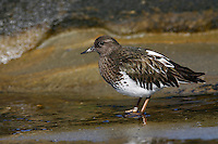 Black Turnstone - Arenaria melancephalaAdult non-breeding<br /> San Diego Co., CA<br /> January 2006