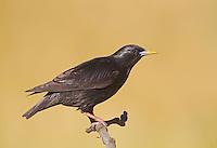 Spotless Starling - Sturnus unicolor - adult, summer