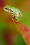 Italian Tree Frog (Hyla intermedia) on tip of a leaf, Italy.