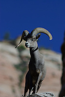 Desert Bighorn Sheep (Ovis Canadensis nelsoni)Ram seen in Zion National Park, southern Utah, on a summer day.