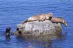 Harbor seals on rocks