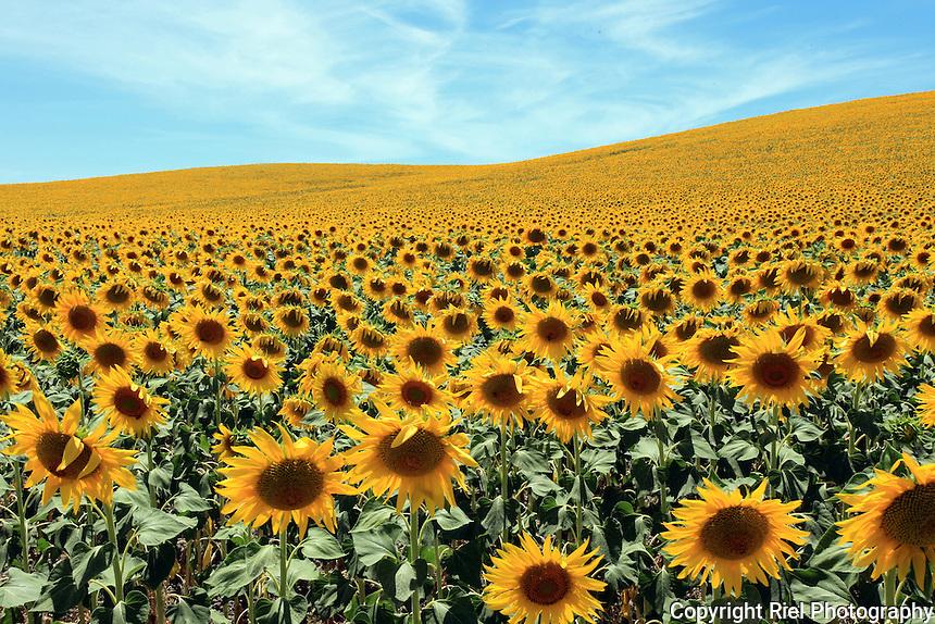 Sunflower Field, Spain | Riel Photography