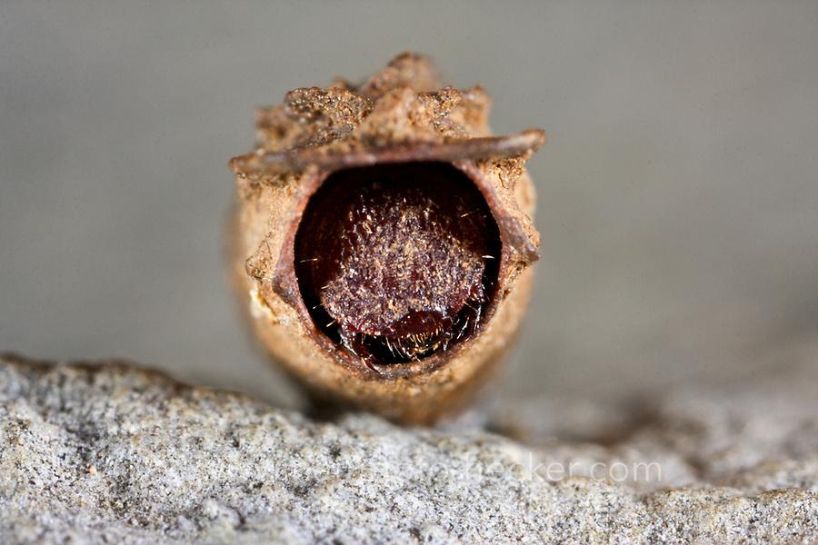 Ameisen-Sackkäfer, Ameisen-Blattkäfer, Ameisensackkäfer, Ameisenblattkäfer, Sackkäfer, Sackblattkäfer, Larve in ihrem Köcher, Larvenköcher, Käferlarve, Clytra laeviuscula, Willow clytra, ant bag beetle, larva, larvae, Le Clytre des saules
