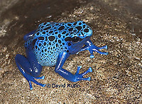 0929-07nn  Dendrobates azureus - Blue Poison Arrow Frog ñ Blue Dart Frog  © David Kuhn/Dwight Kuhn Photography