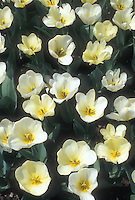 White tulips Purissima, Tulipa fosteriana Purissima white with yellow base