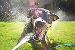 a dog attacking water hose in backyard fun, vicious an wide eyed, bearing teeth, with spray flying everywhere, albuquerque new mexico