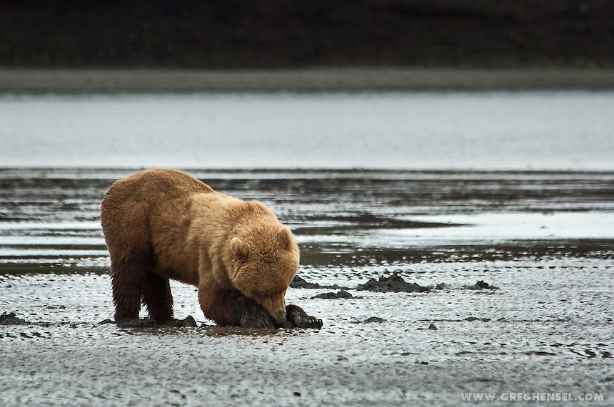 Brown Bear digging for Clams on the tidal flats at McNeil Cove. Summer at McNeil River Bear Sanctuary in Southwest Alaska.