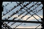 Starlings (Sturnus vulgaris) roosting underneath the pier at Aberystwyth, Wales. (02/02/2014)