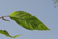 Vogel-Kirsche, Vogelkirsche, Süß-Kirsche, Süßkirsche, Süsskirsche, Süss-Kirsche, Kirsche, Blatt, Blätter vor blauem Himmel, Prunus avium, Gean, Mazzard, Wild Cherry