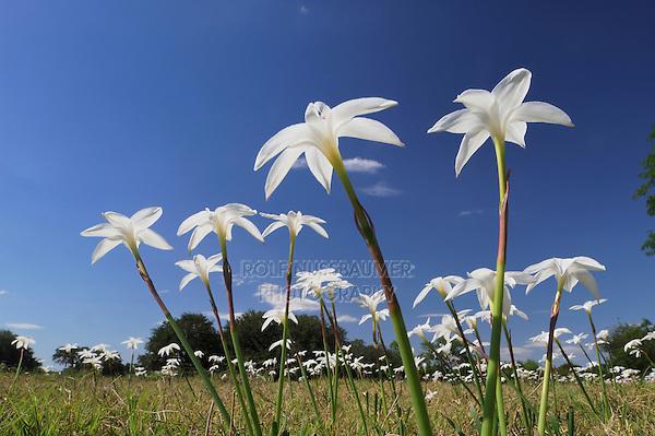 Evening Rain Lily (Cooperia drummondii), blooming in meadow, Dinero, Lake Corpus Christi, South Texas, USA