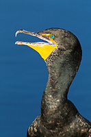 Double-crested Cormorant - Phalacrocorax auritis