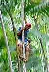 Coleta de açai em Iguarapé-mirim. Pará. 2008. Foto de Ricardo Azoury.