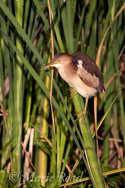 Least Bittern (Ixobrychus exilis), adult female, Perch River WMA, New York, USA