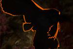 Batfish, Platax pinnatus 10-21-17-213010-21-17-2130