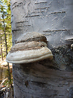 Wild fungus growing on an aspen trunk
