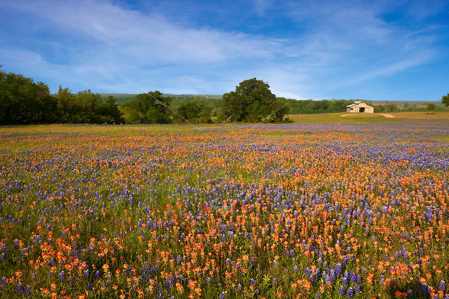 Field of Texas Paintbrush and Texas Bluebonnet wildflowers Surrounding Old Farm House, Texas, USA.