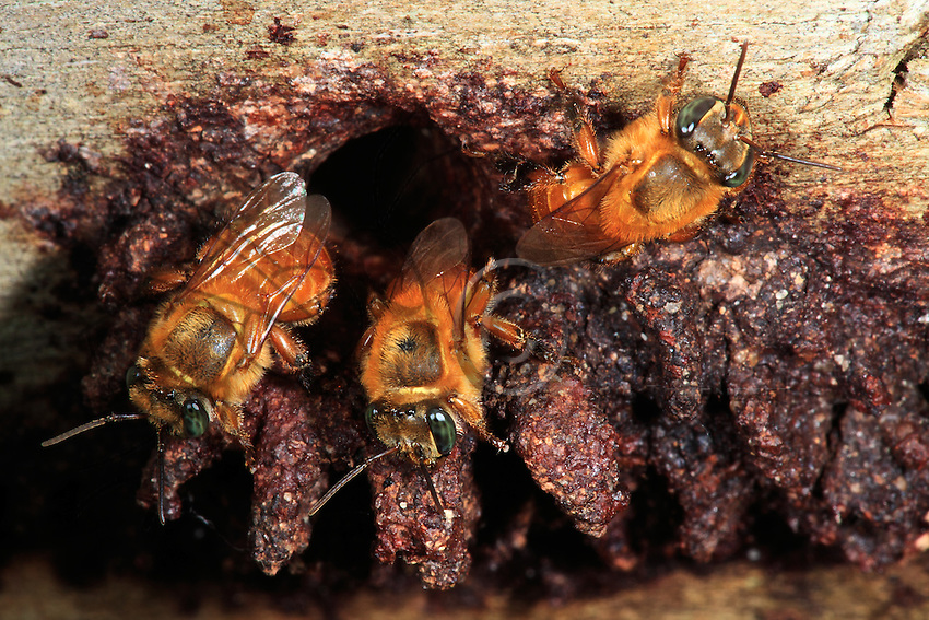 Workers on the nest entrance of a stingless bee Melipona flavolineata.